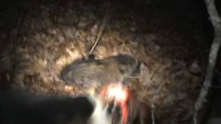 Coon Hunting. Split Treed And The Garmin Astro