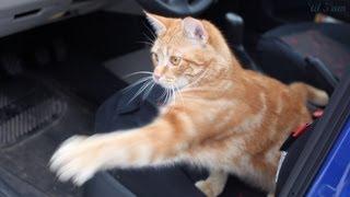 Cute Tiger-Cat Infested Car (poor man