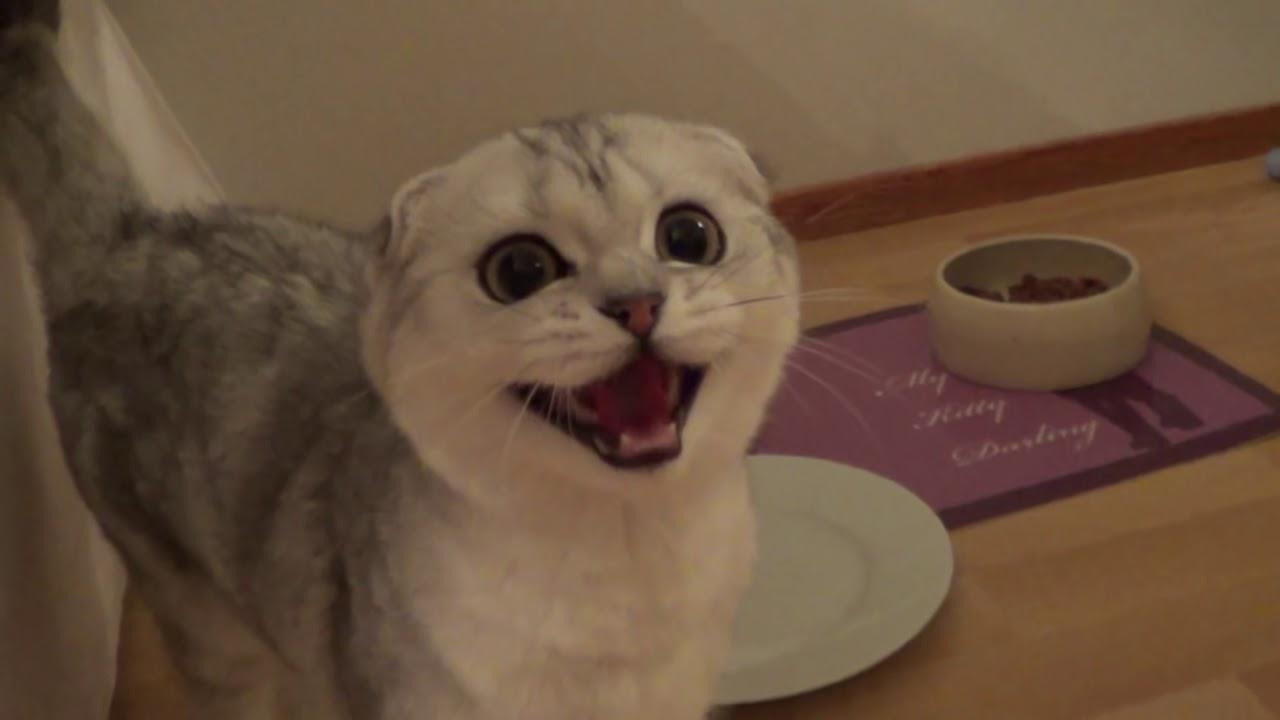 crazy hungry scottish fold kitten   youtube