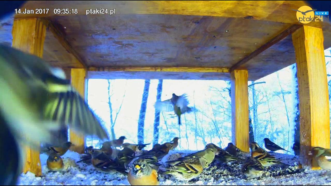 Sójka przepędza małe ptaki z karmnika dla ptaków w lesie