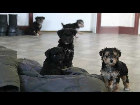 Yorkie Mix Puppies For Sale
