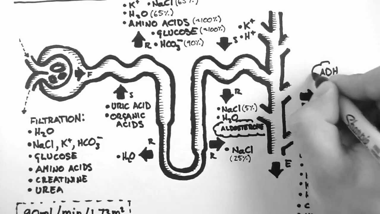 Nephron Diagram From A Textbook 6 Way Trailer Plug Wiring Dodge Function Youtube