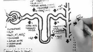 Nephron Function thumbnail