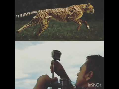 Download National geographic Making Video  #Cheetah Running Slow Motion Video Making