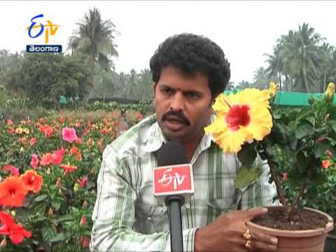 Hibiscus Blossoms At Kadiyam Nursery Ts జకసన 1st