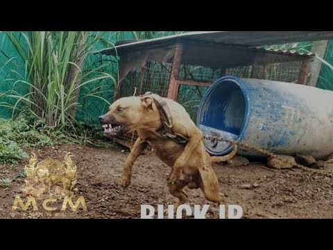 AMERICAN PITBULL TERRIER INFO|MCM KENNELS|KERALA| Subscribe,Like,comment