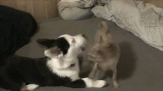 Chihuahua Attack
