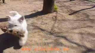 Cachorro Westy Slevin Criadero De Westies Alborada, Slevin, Westie Puppy Alborada Westie Breeder
