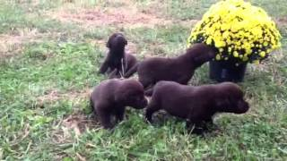 Video Chocolate Lab Pups for sale in Maryland download MP3, 3GP, MP4, WEBM, AVI, FLV Juni 2018