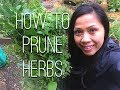 Pruning Herbs: Oregano, Thyme, Lemon Balm, Rosemary