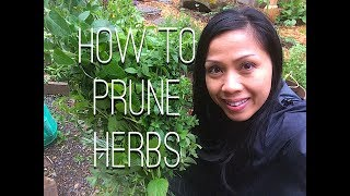 Pruning Herbs: Oregano, Thyme, Lemon Balm, Rosemary