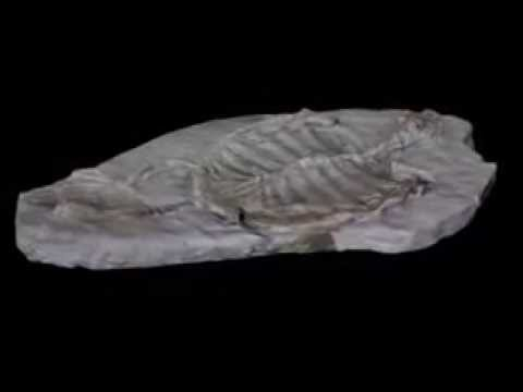 TURTLE FOSSIL - 165 million years old