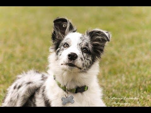 Cheza - 5 months Border Collie Puppy!