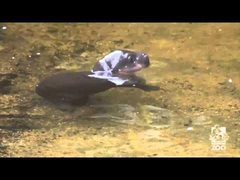 Baby pygmy hippo takes first swim
