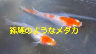 ヤフオクで紅椿メダカ2匹で11100円で落札。2匹ではさみしいので追加で...