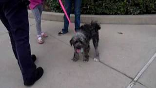 Schnoodle - Our Schnauzer/poodle 9 Month Old Pup