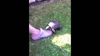 Tortoise raping shoe/croc