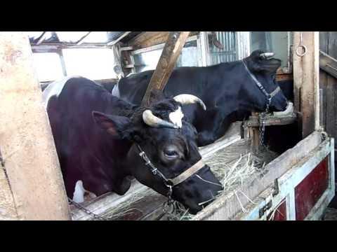 практика запуска коров