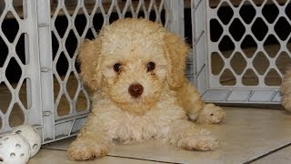 Toy Poodle, Puppies, For, Sale, In, San Francisco, California, Ca, Moreno Valley, Oxnard, Fontana, M