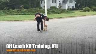"We Train Any Size! | 8 Month Old Toy Poodle ""rosie"" 