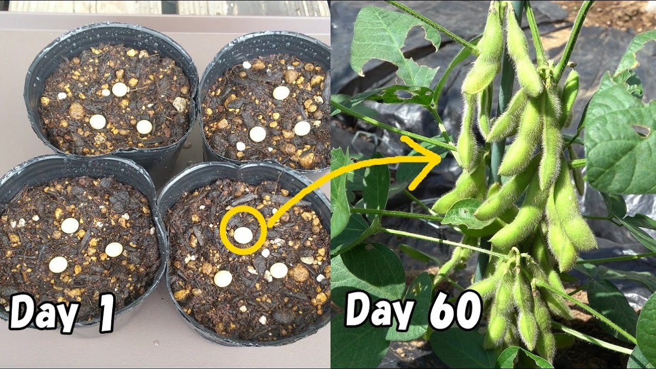 スーパーで買った大豆を植えて枝豆を収穫する! /  I plant soybeans bought in the supermarket and harvest edamame!