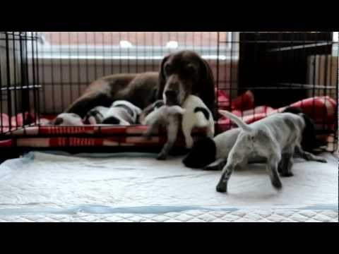 GSP Kennel Upe - Litter 'C' 21 days old German Shorthaired Pointer puppies
