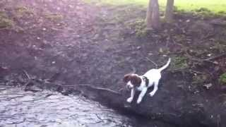 English Springer Spaniel Puppy. Trying To Cross A Shallow Stream. He Got There In The End!!