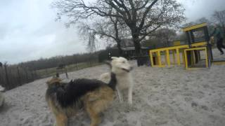 Skipper, Sabre, Teddy and Thor in the sand paddock - Dogs Trust West Calder