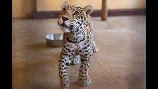 В Харьков привезли котят пятнистых ягуаров