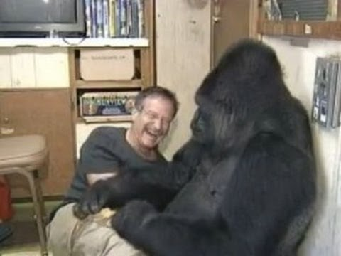 Koko Gorilla Who Knew Sign Language And Loved Cats Dies Time