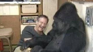 Koko the Gorilla meets Robin Williams thumbnail