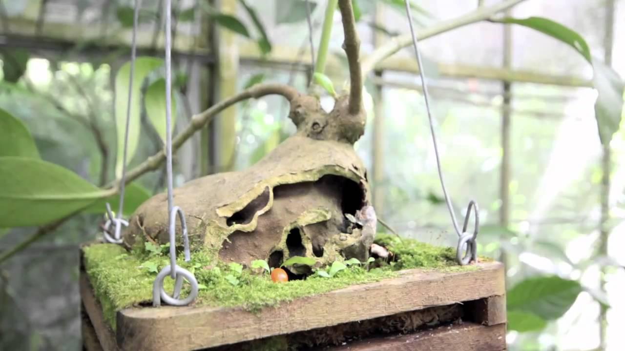 How To Grow Ant House Plants, So Strange!   YouTube