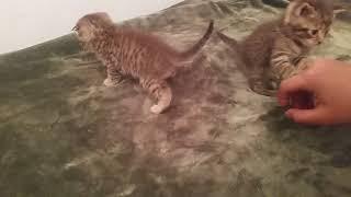 Как приучить котёнка к лотку/1 часть