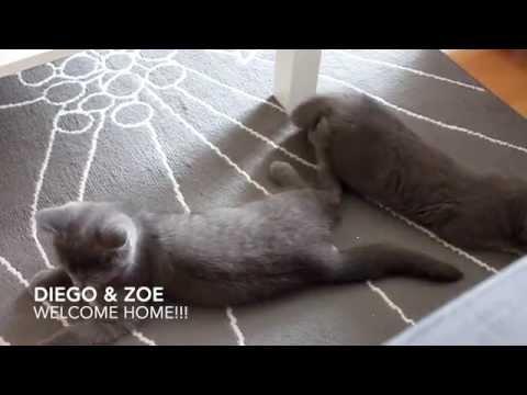 British Shorthair Kitten Diego & Zoe // First day at new home