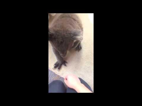 Curious Koala Walks Into House