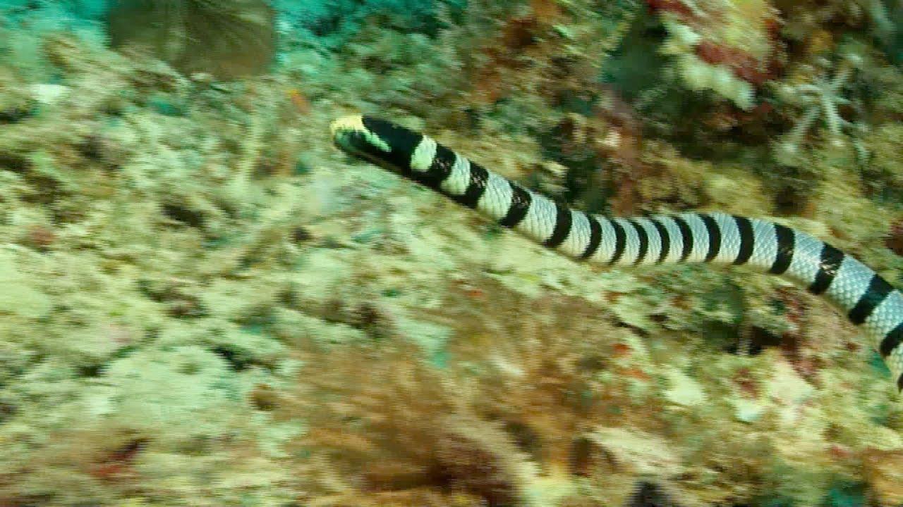Seeschlange Giftig