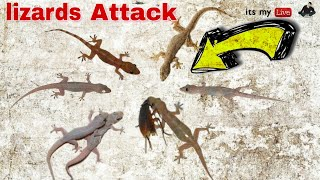 Lizards Attack On Small insects | lizards fight | lizard hunting insects