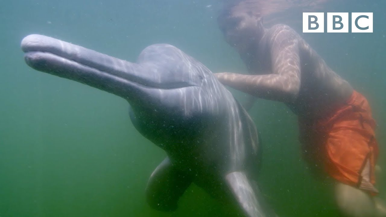 The Dolphins who love to swim with humans - BBC
