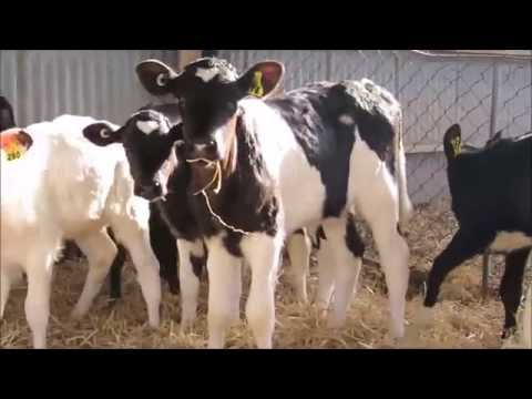 Dehorning Calves Without Pain Killers