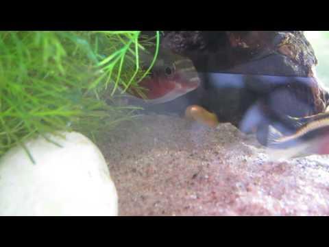 Kribensis Fry From Day 1 To 1 Week (Pelvicachromis Pulcher)