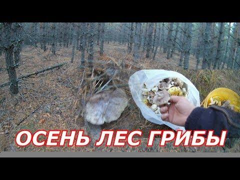 Осенние грибы.Какие грибы растут осенью.Как найти грибы в лесу.Грибы в сосновом лесу