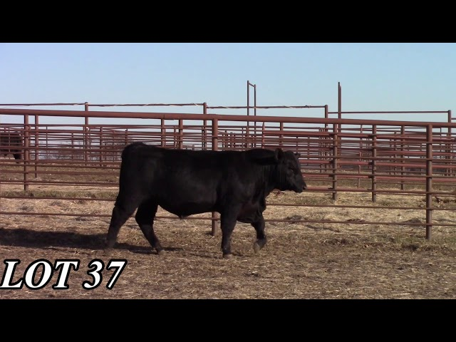 Mead Angus Farms Lot 37