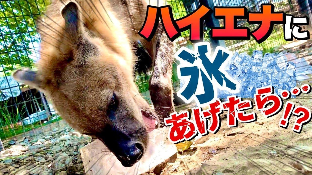 【ハイエナ】お肉の入った氷をハイエナにあげたらまさかの結果が!?I tried to give ice to a hyena with a strong jaw