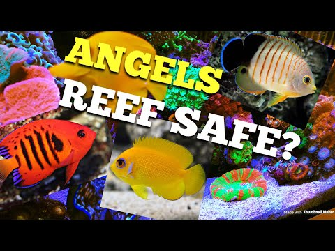 Angel Fish Reef Safe?
