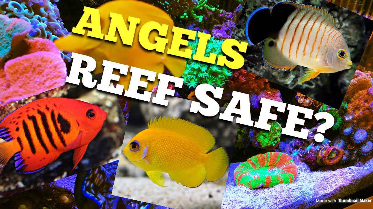 Angel Fish Reef Safe Youtube