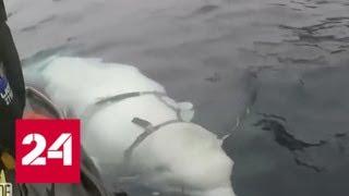 Помутнение сознания: история про русского кита-шпиона - Россия 24