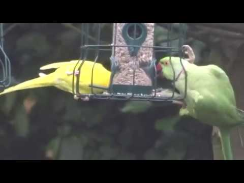 Yellow Parakeet On Feeder In South London UK Garden With Ring Necked Parakeets
