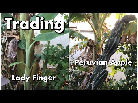 One Arizona Garden | Trading a Lady Fingers Banana pup for a Peruvian Apple Cactus