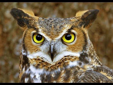 Great Horned Owl | Great Horned Owl Sound | Great Horned Owl Life