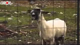 Mouton qui crie !